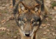 Ein Wolf im Tierpark Goldau. (Bild Boris Bürgisser/Neue LZ)