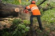 Ein Forstarbeiter zertrennt eine umgestürzte Eiche. (Archivbild: Pius Amrein/LZ)