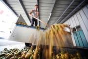Ein Bauer liefert Birnen und Äpfel bei einer Mosterei zur Verarbeitung ab. (Bild: Keystone/Urs Flüeler)