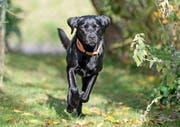 Labradore, wie die abgebildete Luna aus Sempach, gehören zu den beliebtesten Hunden der Luzerner. Bild: Corinne Glanzmann (Sempach, 24. Oktober 2016)