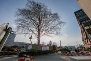 Das neue Zuhause der Rotbuche ist der Stadtpark. (Bild: PD / Bürobureau)