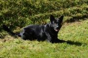 Der Polizeihund «Tyson» konnte die beiden flüchtigen Männer schnappen. (Bild: Luzerner Polizei)