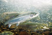 Atlantische Lachse (Bild) sollen bis 2020 im Rhein Basel erreichen können. (Bild: Getty)