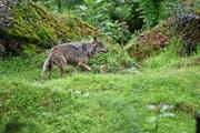 Ein Wolf im Tierpark Goldau: Das Raubtier gibt auch im Kanton Nidwalden zu reden. (Bild Romano Cuonz)