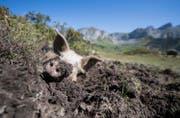 Wildschwein beim Suhlen auf der Alp Selez. (Bild: Urs Flüeler/Keystone (Bürglen, 29. August 2017))