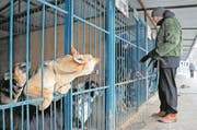 epa06435668 A worker takes care of dogs in the shelter for stray dogs Red Pine in Moscow, Russia, 13 January 2018. According to reports, the Russian government instructed host cities ahead of 2018 Soccer World Cup in Russia to organize temporary shelters for homeless animals to ensure safety for visitors. Stray animals in temporary shelters will receive proper care, vaccinations and will be sterilized. However, the First Deputy Chairman of the State Duma Committee on Education and Science, Gennady Onishchenko, announced that homeless dogs, which will not be adopted, must be put to sleep. Vice-chairman of the State Duma Committee for Ecology and Environmental Protection, Kiryl Cherkasov said that it should be considered to put down the stray dogs after catching them only if the animal poses a real threat to citizens. According to media reports, some 35,000 homeless dogs were counted in the Russian capital in 2010. EPA/YURI KOCHETKOV ATTENTION: This Image is part of a PHOTO SET (Bild: Yuri Kochetko/EPA (Moskau, 13. Januar 2018))