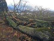 Auf der Dreilindenhöhe in der Stadt Luzern hat «Burglind» zahlreiche Bäume umgenietet. (Bild: Leserreporter)