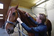 Tiertherapeutin Alexandra Wolf behandelt den Wallach Da Vinci mit der neuen Schröpftherapie. Das Behandlungsgerät (unten links) erzeugt ein regulierbares Vakuum, die unterschiedlichen Gläser wählt sie je nach Art der Beschwerden. (Bild: Werner Schelbert (Baar, 17. Februar 2018))