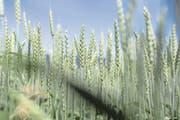 Im Parlament wird um die Ernährungssicherheit gerungen. Im Bild ein Weizenfeld. (Bild: Gaetan Bally/Keystone)