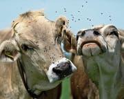Für das Vieh sind Fliegen und Bremsen nicht ungefährlich, da sie infektiöse Augenentzündungen übertragen können. (Bild: Michel Canonica)