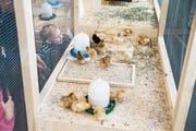 Auch wenn sie heuer nicht angefasst werden dürfen: Die Küken locken viele Besucher an. (Bild: Manuela Jans-Koch (Luzern, 30. März 2018))