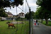 Das Tiergehege am Alpenquai in Zug erfreut die Flanierenden. Es gehört seit Ende des 19. Jahrhunderts zum Stadtbild. (Bild: Stefan Kaiser / Neue ZZ)
