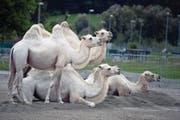 Kamele gehören zu den Tierattraktionen im Knie (Bild: Corinne Glanzmann (Luzern, 20. Juli 2017))