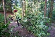 Ein Mitarbeiter der Stadtgärtnerei Luzern trägt einen gefällten Baum weg. (Bild: Keystone / Urs Flüeler)