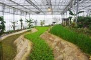 Auf drei übereinander liegenden Reis-Terrassen wird das Grundnahrungsmittel in verschiedenen Wachstumsstadien gezeigt. Die ersten Samen wurden im November 2017 gesät. (Bild: PD)