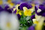 Blumen, Blumen - überall Blumen. (Symbolbild Pius Amrein/ Neue LZ)