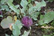 Ein Kohlrabi aus dem eigenen Garten - der Lohn für die Arbeit. (Bild: Dominik Wunderli / Neue LZ)