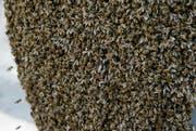 Bienen haben sich an einem Blumentopf niedergelassen. (Bild: Stefan Kaiser)