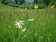 Meggen hat viele Blumenwiesen. Nun sollen Ökoflächen vernetzt und aufgewertet werden. (Bild pd)