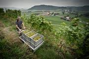 Weinlese auf dem Weingut Castelen von Kaspar Tschuemperlin in Alberswil. (Archivbild Pius Amrein)