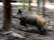 Treiben Aargauer Jäger zur Verzweiflung: Wildschweine (Archiv) (Bild: Keystone)