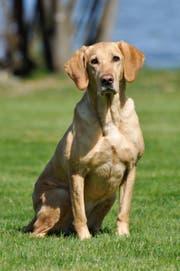 Maintrailing-Hund Aïka der Kantonspolizei Schwyz. (Bild: Kapo Schwyz)