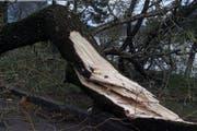 Dieser Baum am Lauerzersee hielt dem Föhnsturm im Jahr 2000 nicht stand. (Bild: Archiv / Neue SZ)