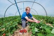 David Bühlmann erntet auf dem familieneigenen Hof in Rothenburg frische Erdbeeren. (Bild: Boris Bürgisser / Neue LZ)