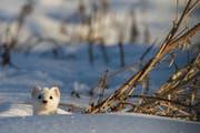 Der Hermelin, hier im weissen Winterfell, ist eine in der Schweiz ansässige Wieselart und 2018 das Tier des Jahres. (Bild: PD / Pro Natura)