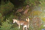 Jungwölfe tappen im bündnerisch-sankt-gallischen Grenzgebiet am Calanda in eine Fotofalle. Die Aufnahme stammt vom letzten Jahr. (Bild Amt für Jagd und Fischerei Graubünden)