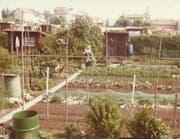 Auch in früheren Zeiten nutzten die Mitglieder des Familiengärtnervereins die Beete und Gartenhäuschen auf dem Areal Emmenfeld. (Bild: PD)