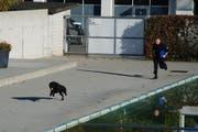 Lennox zeigt vollen Einsatz an der Polizeihundeprüfung. (Bild: Zuger Polizei)