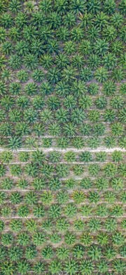 Abgeholzte Regenwälder, vertrocknete Böden, Monokultur: Ölpalmen werden für viele Umweltprobleme verantwortlich gemacht. (Bild: Getty)