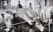 Viehschau der Braunviehzuchtgenossenschaft Eschenbach im Jahr 1964. (Bild: PD)
