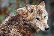 In Uri hat die Regierung einen Wolf zum Abschuss freigegeben. (Symbolbild Keystone)