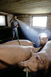 Bauer Kurt Helfenstein aus Sempach duscht seine Schweine, um sie abzukühlen. (Bild Nadia Schärli)