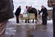 Der Siegermuni des ESAF 2019, Kolin, mit seinem Nachwuchs, einem Jungmuni und einem Kuhkalb. Ebenfalls im Bild (von links): Karl Rust von der Landis Bau AG, Kolins Betreuer, und Fridolin Jeggli von der Jego AG. (Bild: Livio Brandenberg (Unterägeri, 27. November 2017))