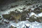 Am 24. April 2016 wurde ein Wolf im Gebiet Wissig (Seelisberg) von einer Fotofalle erfasst. (Bild: Amt für Forst und Jagd, Jagdverwaltung Uri)