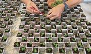 Pflanzenzucht im Syngenta-Forschungscenter in Stein AG. (Bild: Gaetan Bally/Keystone (10. Juni 2014))