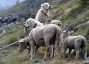 Die extra für die Schutzarbeit gezüchteten Hunde werden von den Schafen geduldet. (Bild Agridea)