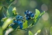 Sind die Beeren so blau wie diese, sind sie reif für den Verzehr. (Bild: Pius Amrein / Neue LZ)