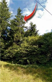 In dieser Tannenkrone (roter Pfeil) sass Kater Simba drei Tage fest. (Bild Feuerwehr Menzingen)