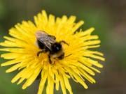 Fleissige Biene (Bild: Theres Nussbaumer)
