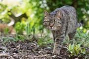 Katze verursachte hohen Blechschaden, als sie die Strasse überquerte (Symbolbild) (Bild: Franziska Gabbert/dpa)