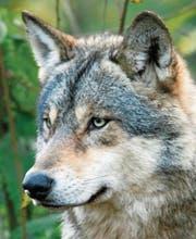 Der europäische Grauwolf ist ein heimliches Tier. In freier Wildbahn sind Begegnungen, trotz medialem Hype, äusserst selten. (Bilder (3): Stefan Borkert)