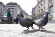 Tauben in der Stadt Luzern: Sie hinterlassen viel Dreck. (Bild Corinne Glanzmann)