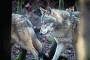 Mit der Revision des Jagdgesetzes soll der Bestand an Wölfen besser reguliert werden. (Bild: Benjamin Manser (Winterthur, 19. Februar 2016))