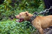 American Pit Bull – in einigen Kantonen ein sogenannter Rassenlistenhund. (Bild: Keystone)
