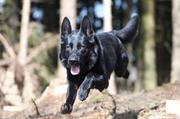 Der Polizeihund «Wallace» konnte am Freitagabend einen flüchtenden Einbrecher schnappen. (Bild: Zuger Polizei)