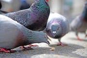 Tauben am Schwanenplatz in Luzern auf Nahrungssuche.